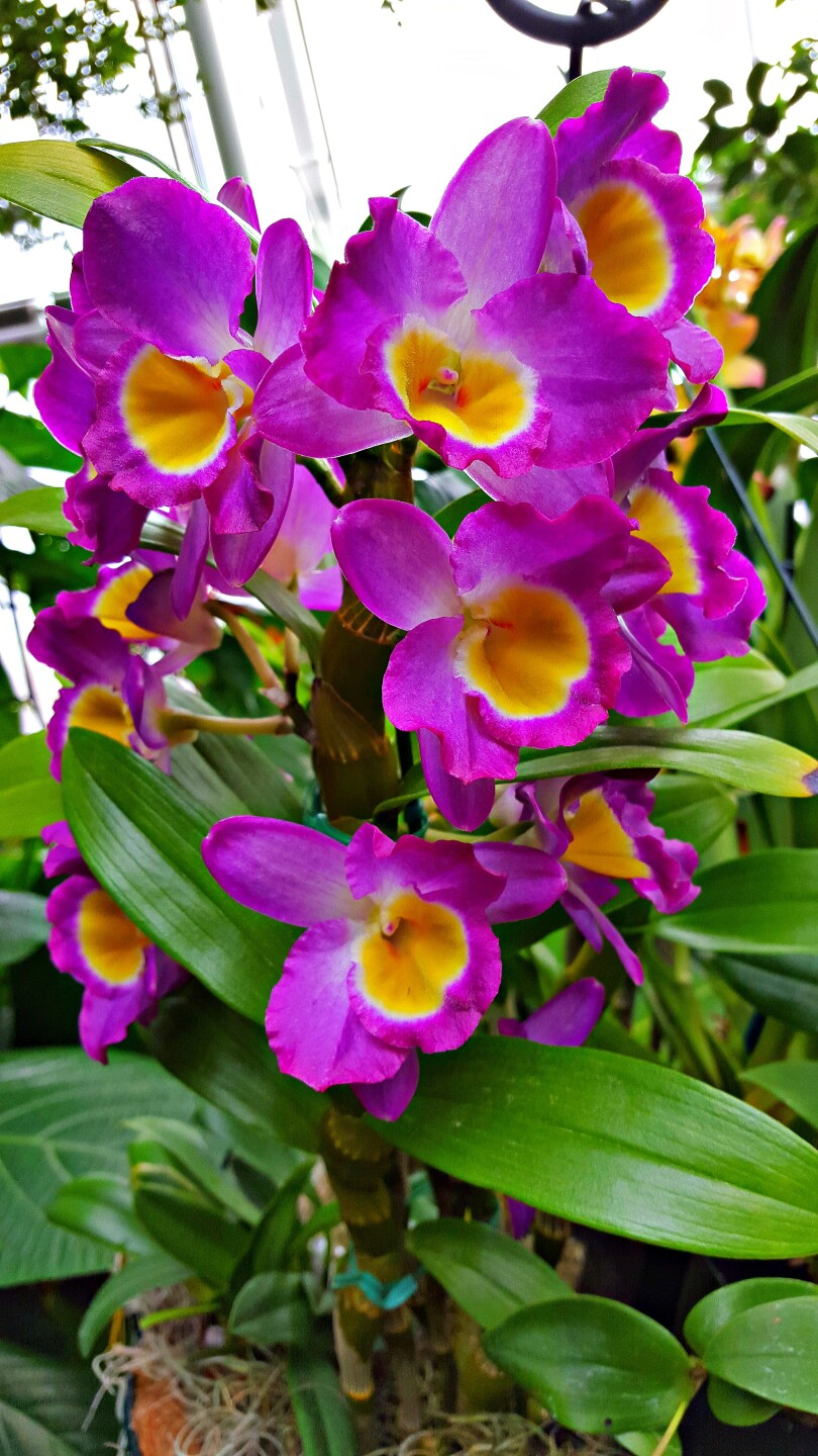 Purple Orchid in Glasshouse 2.1.2016.jpg