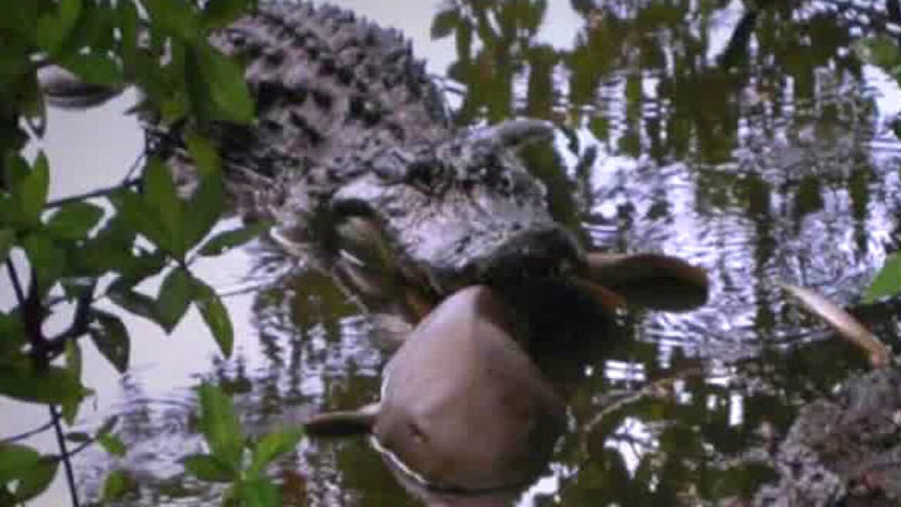 Study shows alligators eating sharks