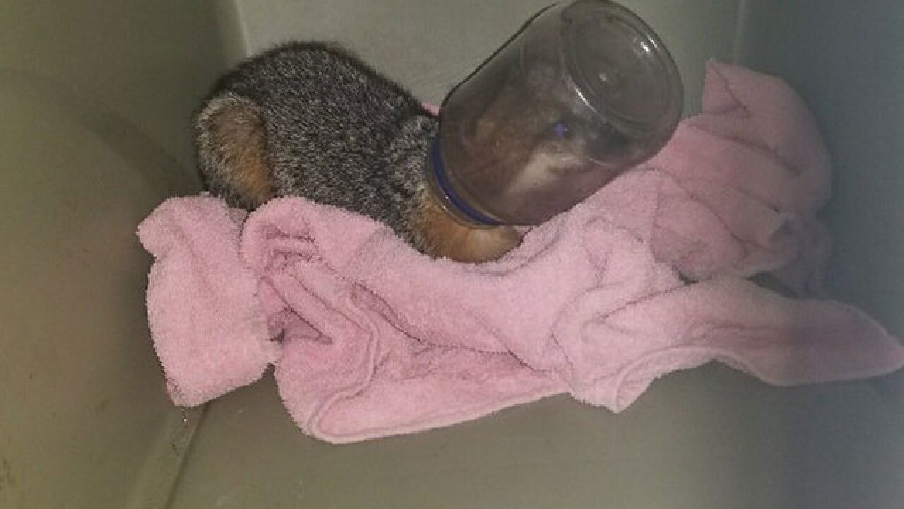 Fox with head stuck in jar for a week rescued by volunteers in Florida