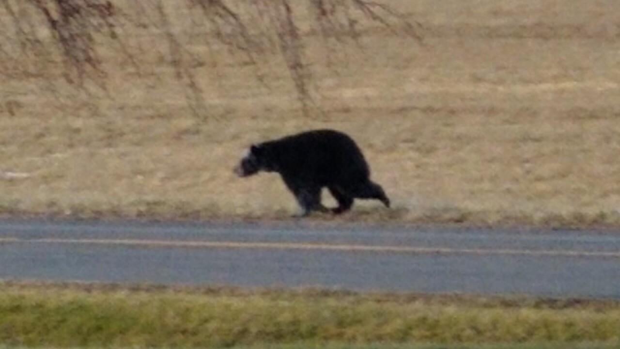 Cranberry Lake Bear 5 - Courtesy Jill Brown via Email.jpg