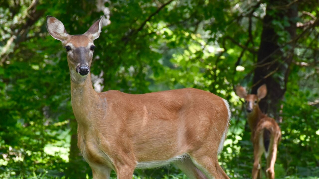 File image of deer.