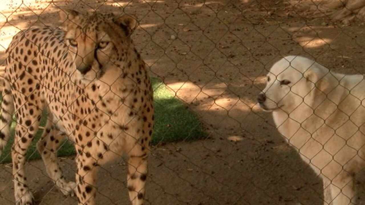 Cheetah Cubs Train With Dogs At San Diego Zoo