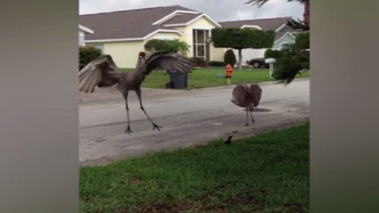 WATCH: Cranes have dance battle in front yard