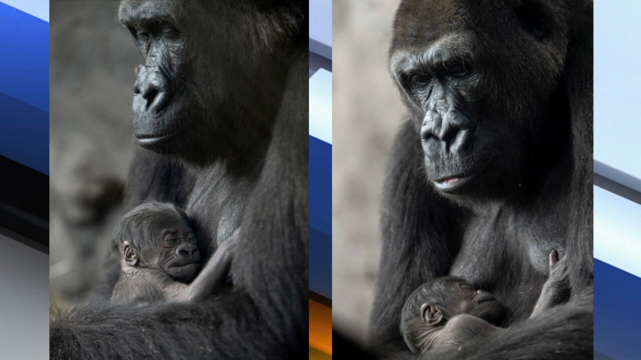WPTV-ANIMAL-KINGDOM-GORILLA-1.jpg
