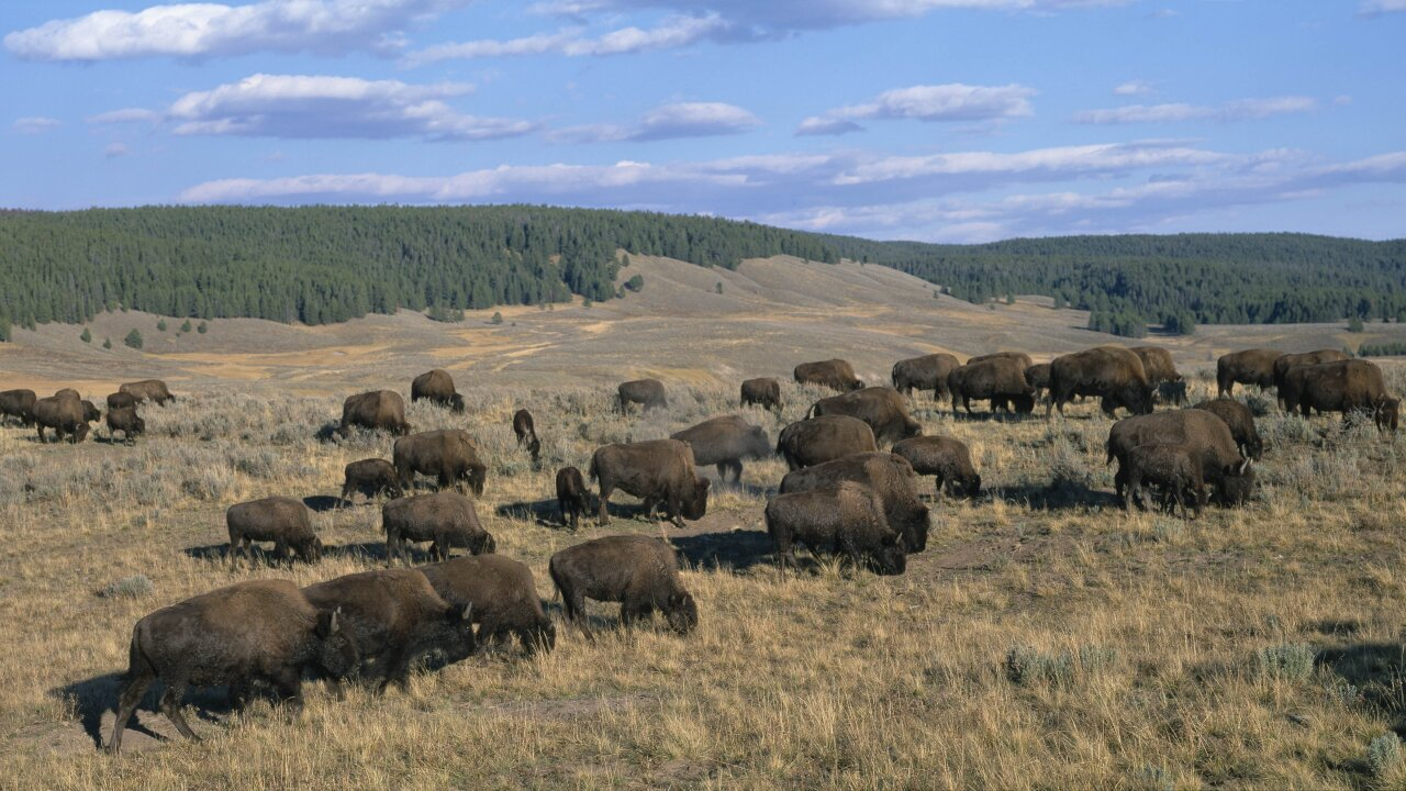 A bison violently charged a 9-year-old girl in Yellowstone National Park and injured her, video shows