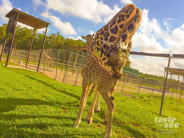 A baby giraffe is born at Lion Country Safari