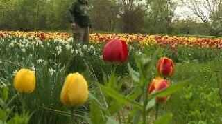 tulip gardener.JPG