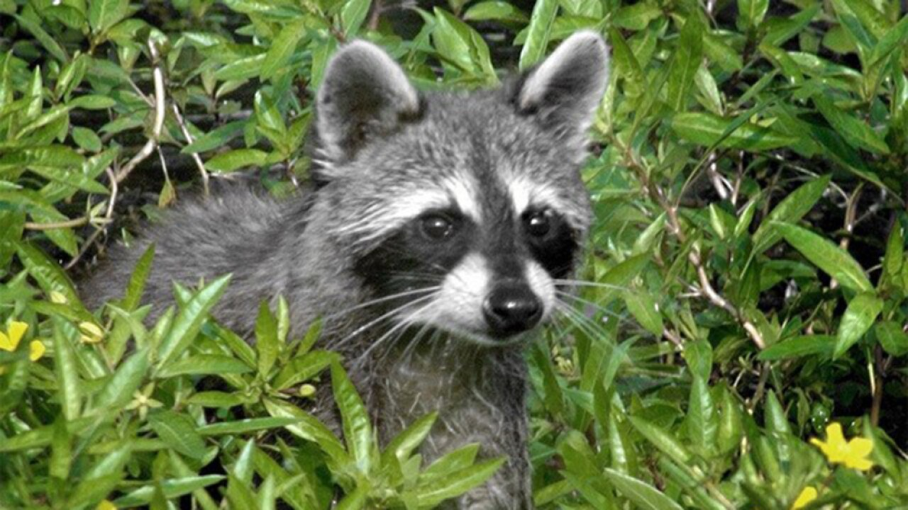 Raccoon in Wellington tests positive for rabies, health ... on retirement home, websites for iowa modular home, sheetrock installation home,