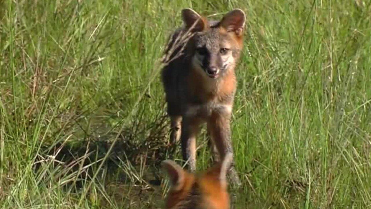 wptv-foxes-.jpg