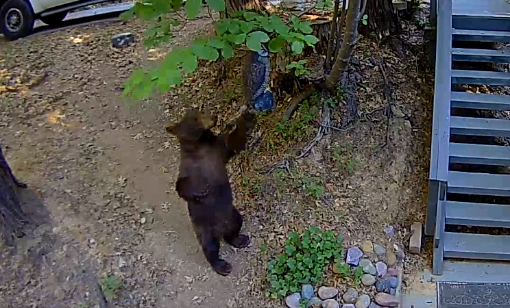 Bear captured on Ring video in Lake Arrowhead