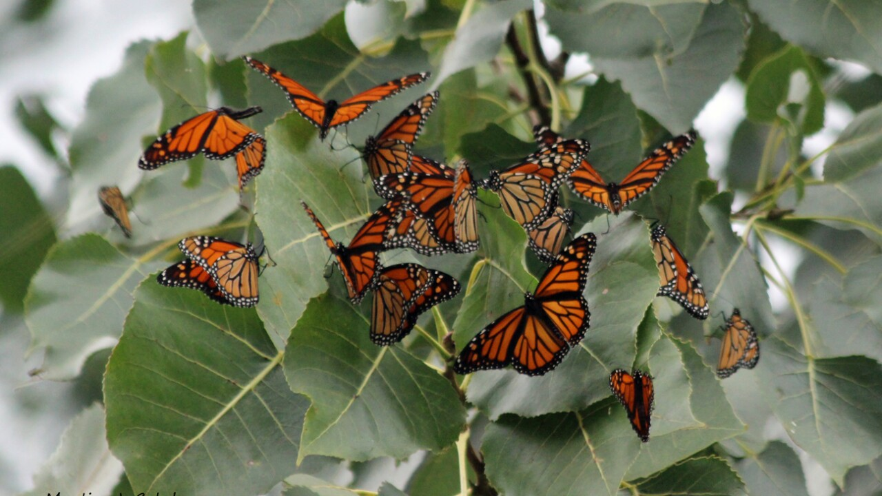 The monarchs at Wendy Park on Sept. 13, 2015.