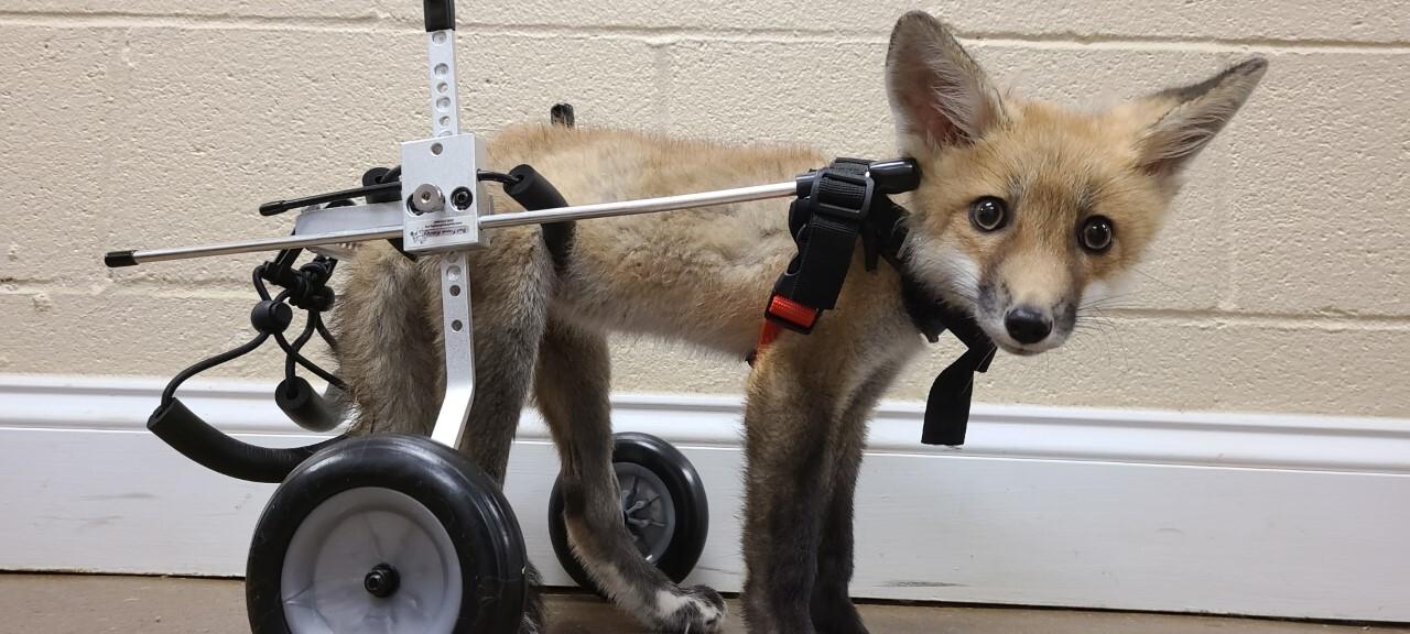 Asia fox.jpg