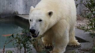 Photos: 'Hope' the polar bear arrives at HogleZoo