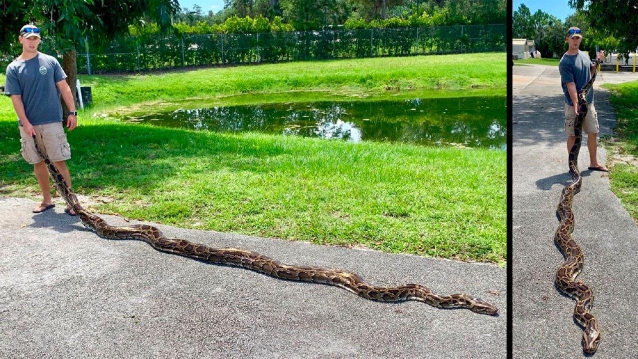 wptv-python-caught-near-record-.jpg