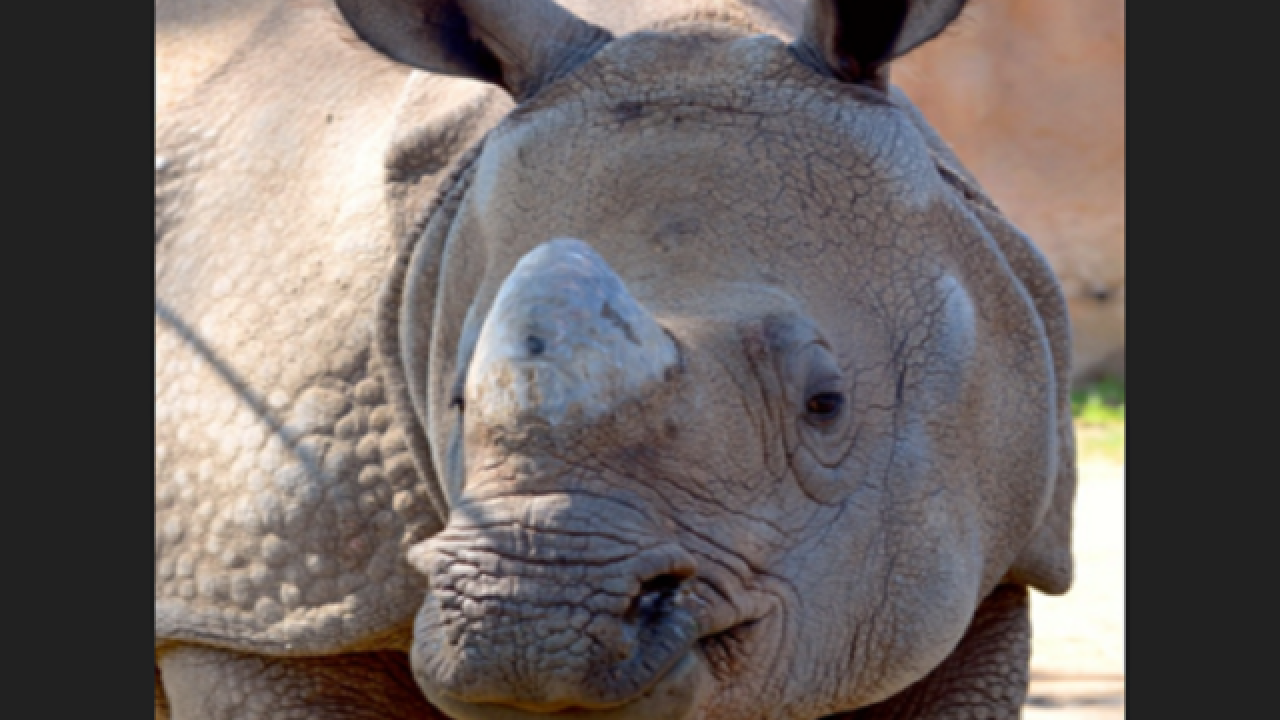 Rhino at Denver Zoo enters yard with workers