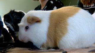 guinea pigs generic.png