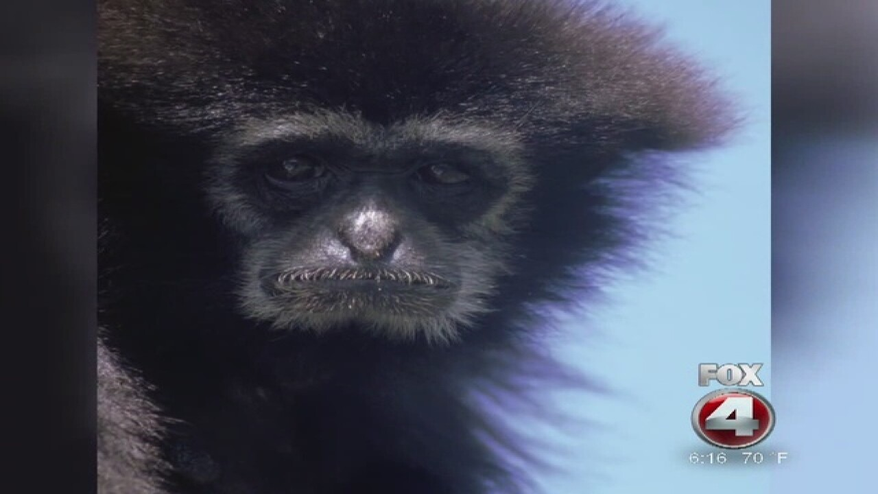 Missing gibbon at Naples Zoo found dead