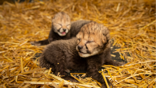 WCPo columbus zoo cheetah cubs.png