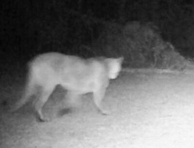 Cougar sighting April 24 2020.jpg