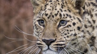 Photos: Hogle Zoo explains how leopard escaped from herenclosure