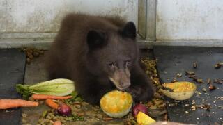 Black bear cub AP Images.jpeg