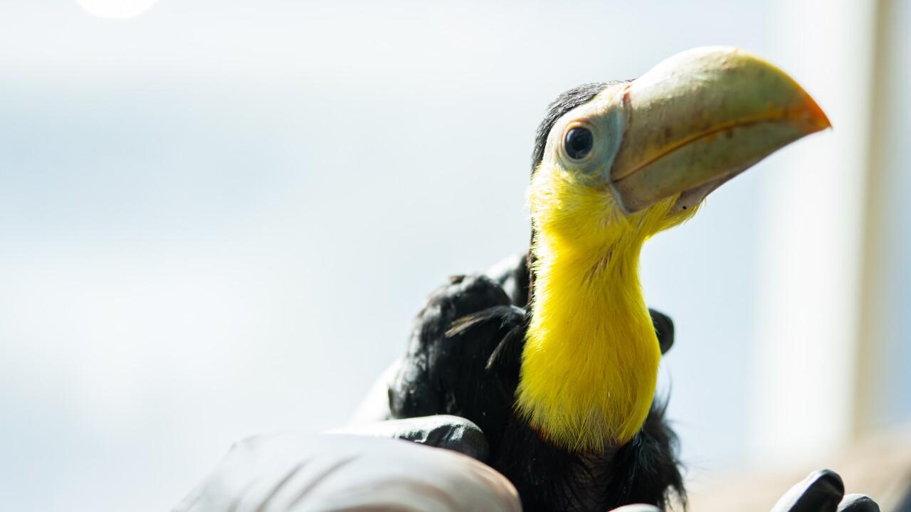baby toucan 014.jpg