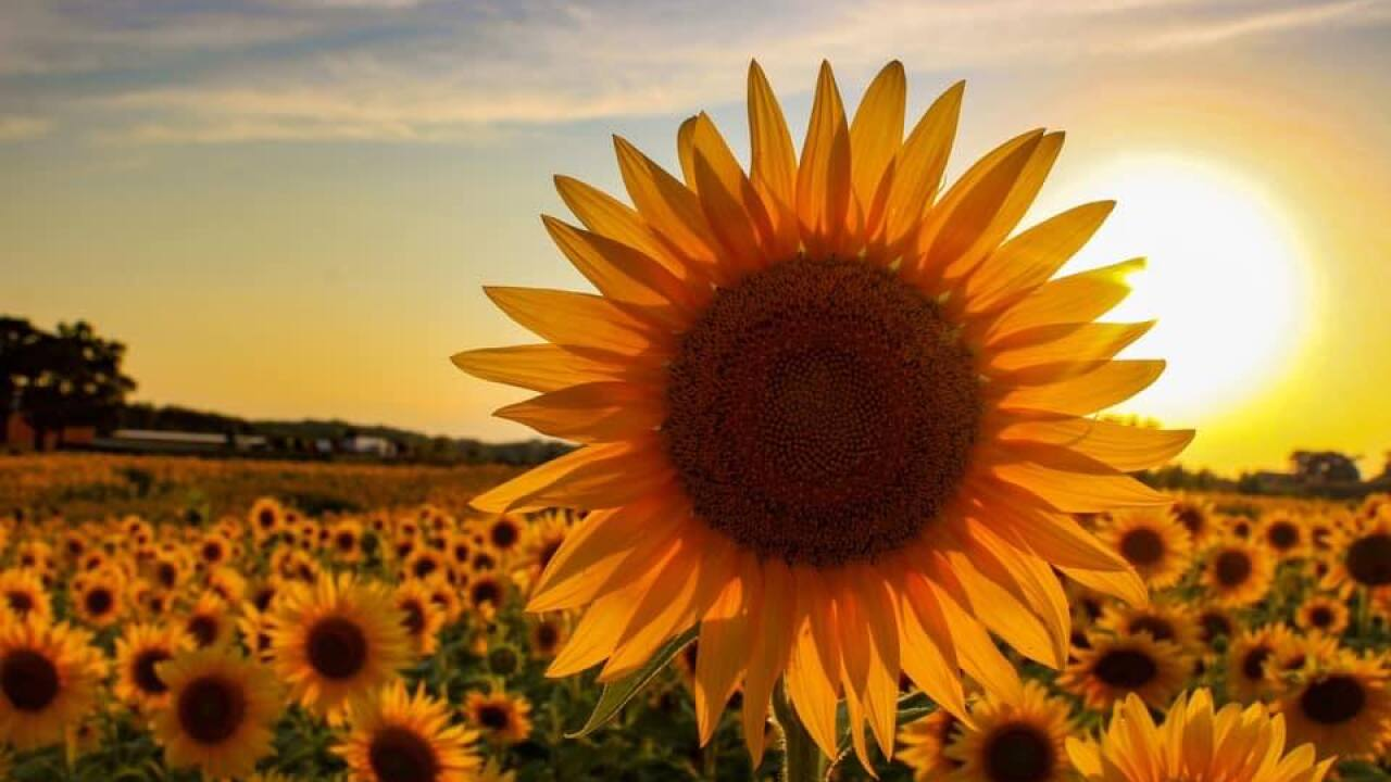 Wisconsin farmer plants over 2 million sunflowers to help brighten dark year