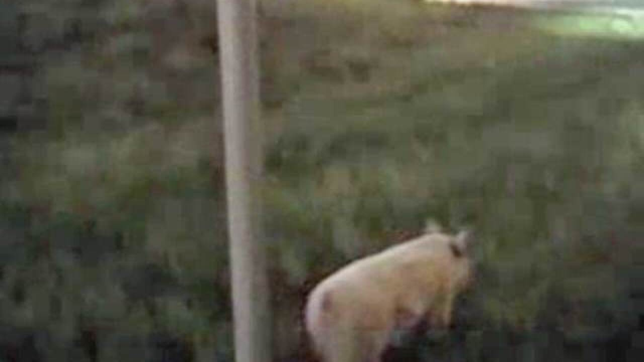 Police find pig rooting around Fla. interstate