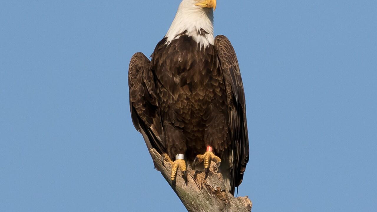 Stony Creek Eagle 2.jpg