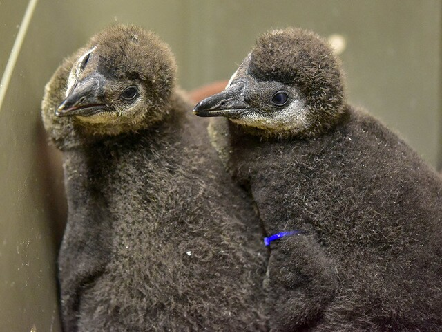Five new penguin chicks join Maryland Zoo flock