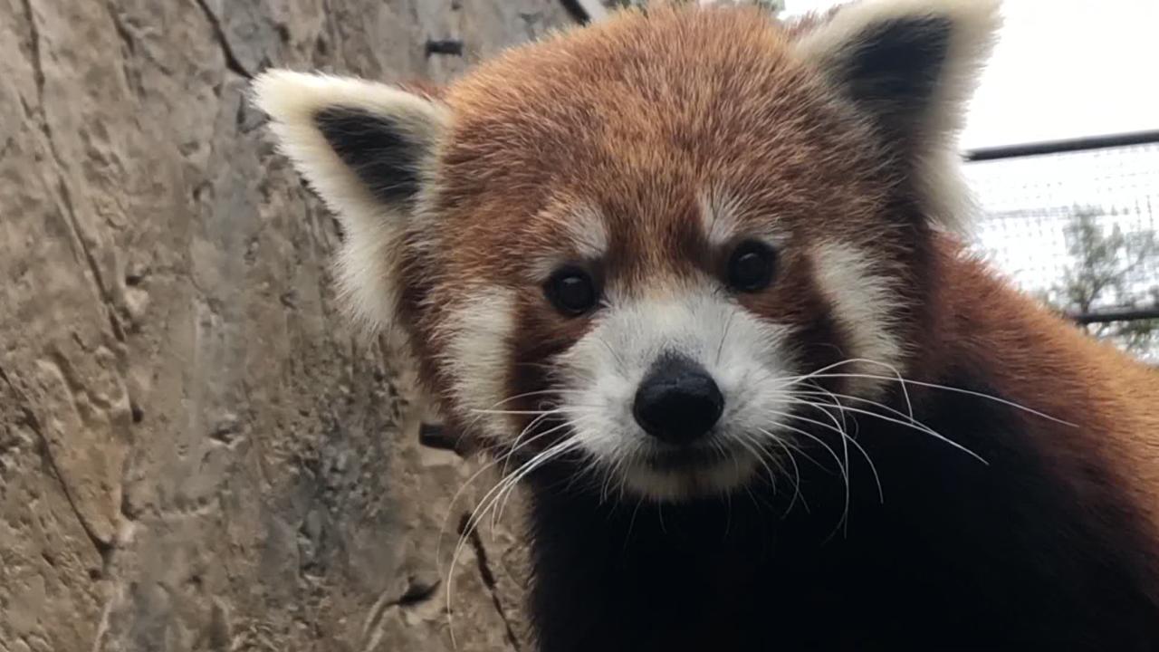 red panda charles paddock zoo.PNG
