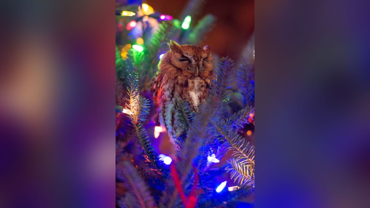 Family finds owl hiding in their Christmas tree