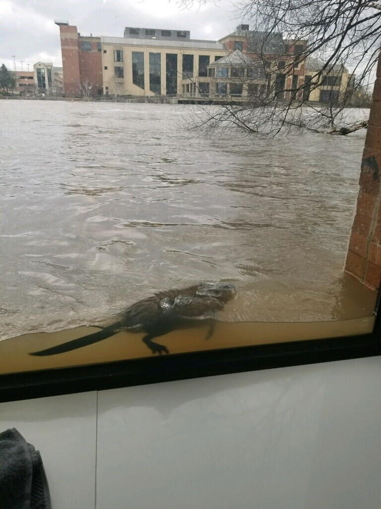 Photos: Flooding brings muskrat to Grand Rapids lawfirm