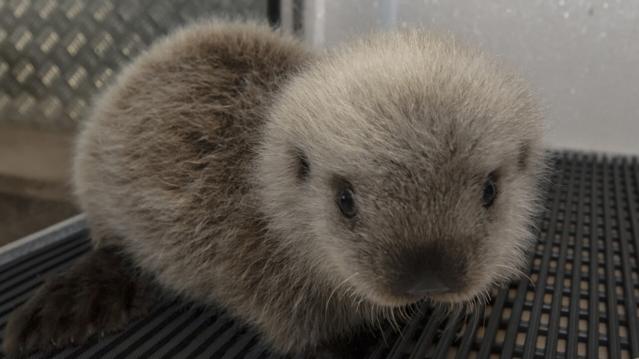 Cinder the sea otter pup at SeaWorld San Diego 1.jpg