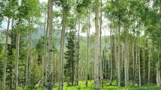 Uinta Mountains Aspens.jpg