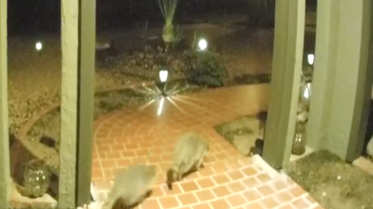 COUNT THEM! Family of raccoons caught on Ring camera