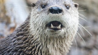 Otter at Potter Park Zoo
