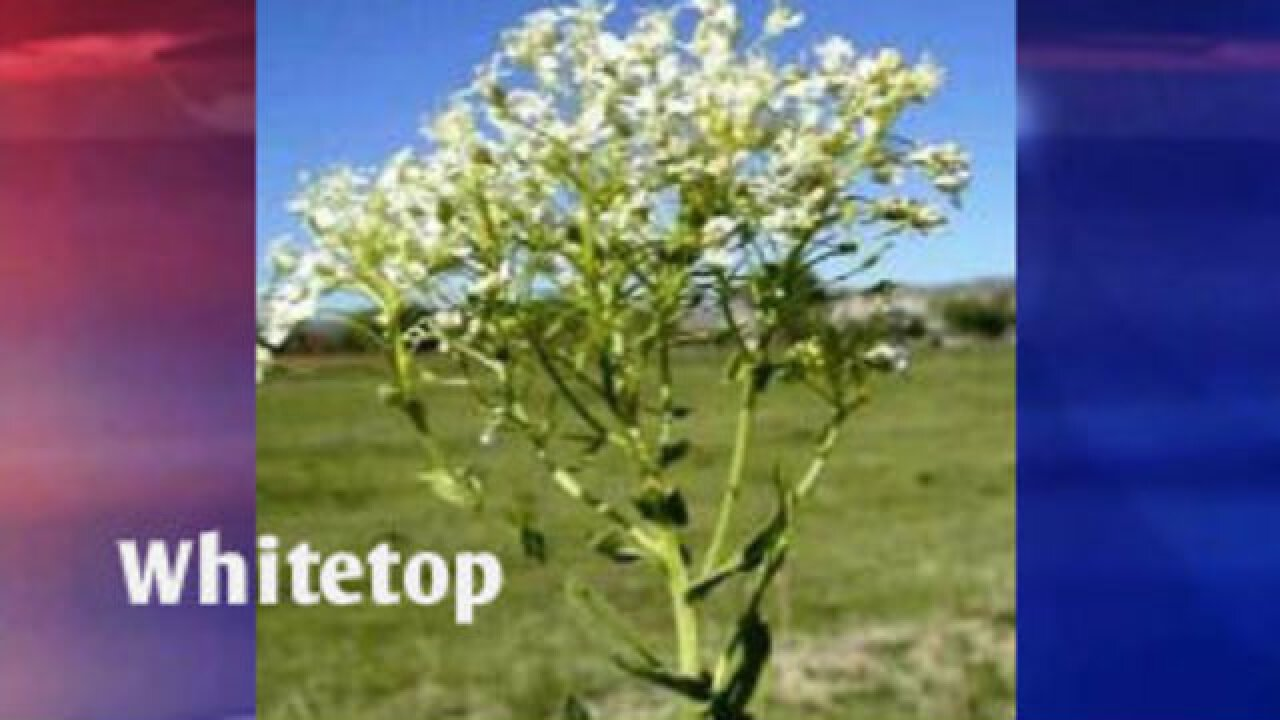 Idaho's noxious weed growth starting early