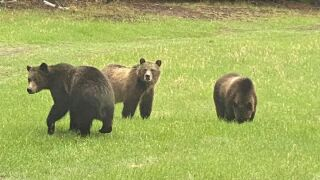 3 grizzlies captured near Swan Lake