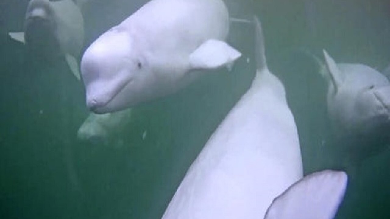 Webcam whale research pulls in viewers worldwide