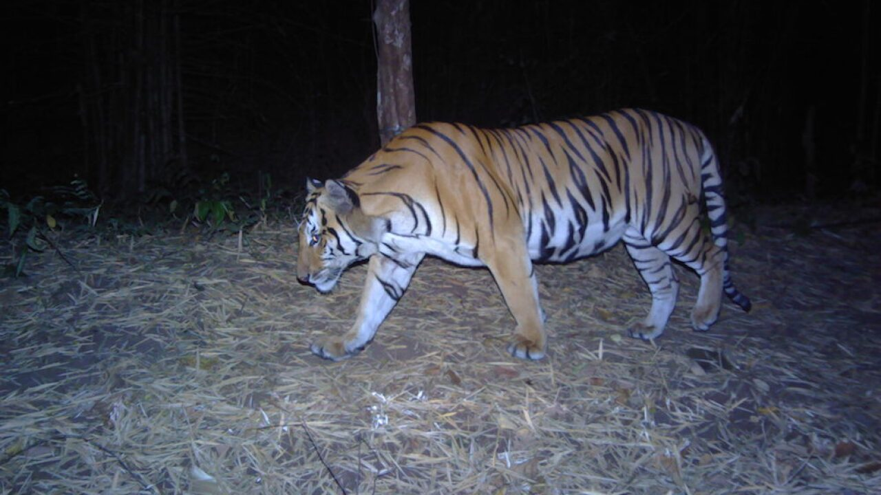 Endangered tigers captured on camera in western Thailand