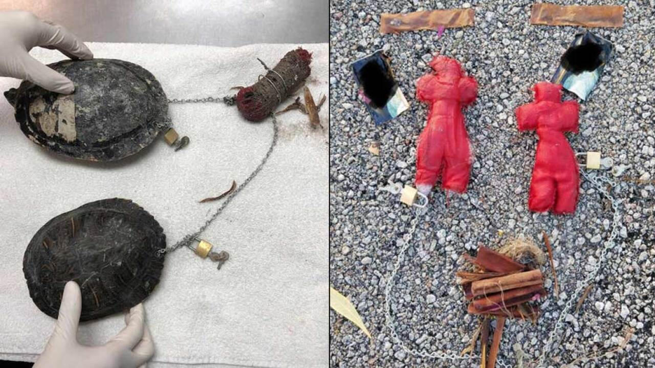 In late November 2018, two freshwater turtles that were chained together and found frantically swimming in the ocean in opposite directions on Miami Beach.