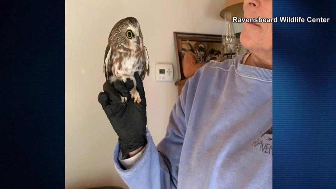 Owl rescued inside Rockefeller Center Christmas tree
