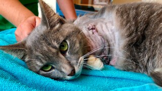 This photo provided by Humane Animal Rescue on July 16, 2019, shows a cat being treated at the Humane Animal Rescue in Pittsburgh. The animal rescue group says someone strapped firecrackers to the cat's front left paw with rubber bands and set them off, causing such severe injuries the animal's leg had to be amputated. The cat, who staffers have named Pickles, is on the mend and will be up for adoption soon.