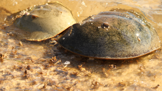 horseshoe-crab.png
