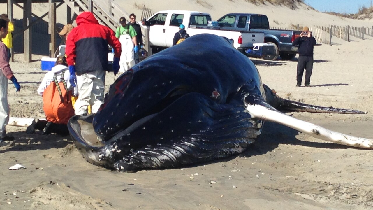 Humpback whale washes ashore in Corolla