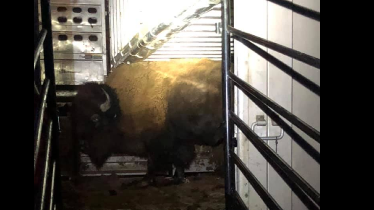 Yellowstone National Park completes new bison transfer to Fort Peck land