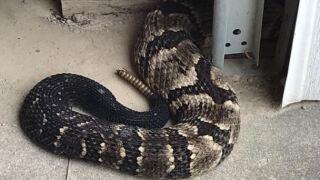 Timber Rattle Snake.JPG