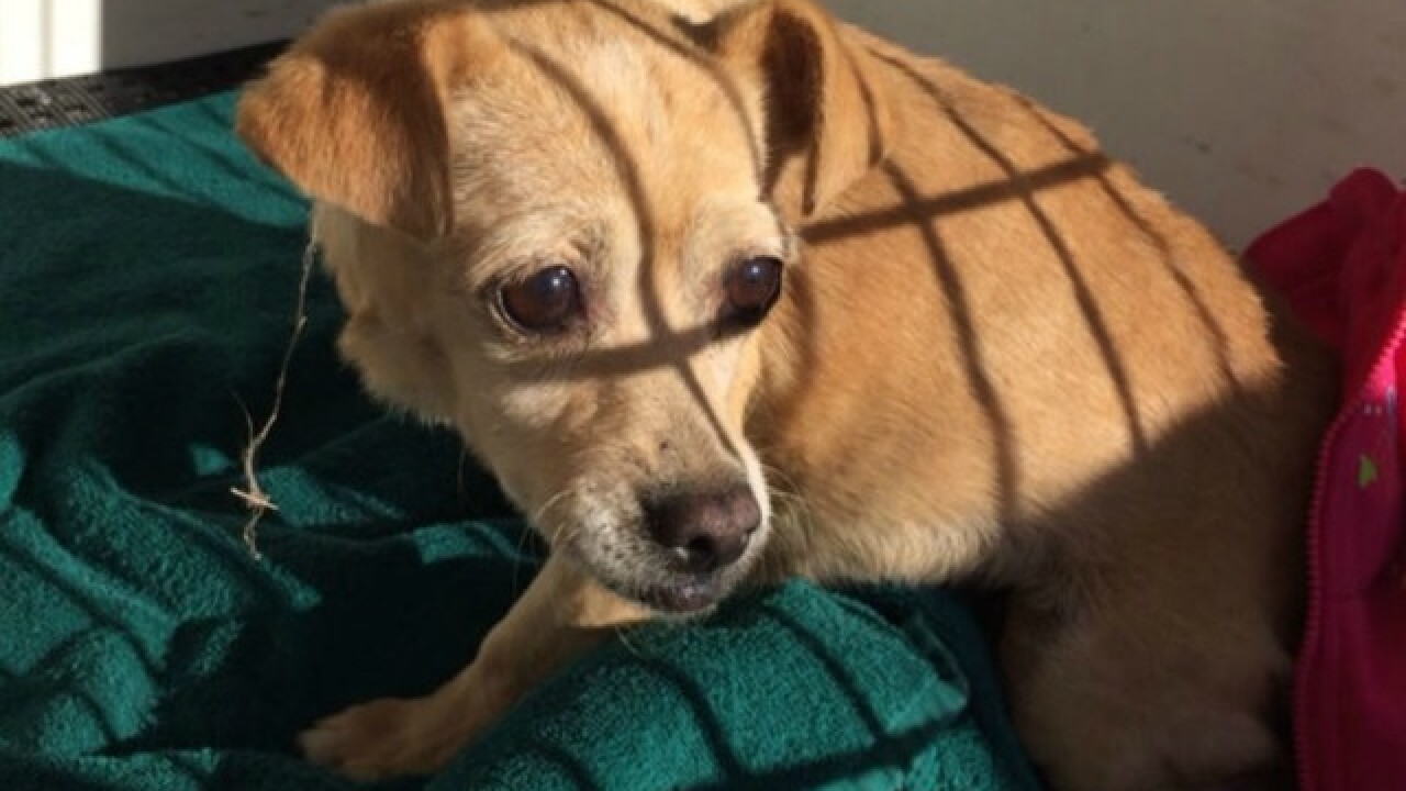 Chihuahua stuck in drain pipe rescued