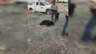 Black bear relocated from Pueblo West